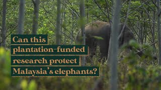 Can this plantation-funded research help protect Malaysia's elephants?