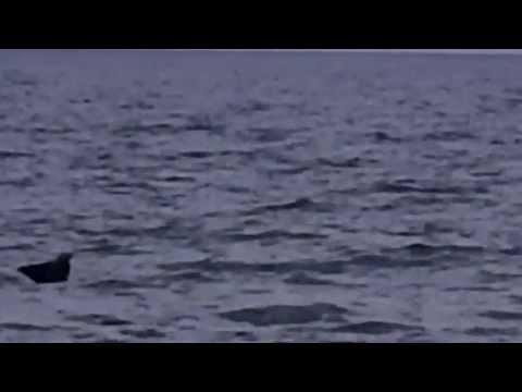 Playful jumping manta ray at Pensacola Beach