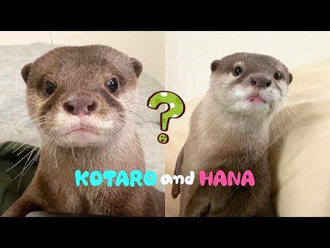 Otter Kotaro&Hana Looking For Each Other