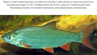 Фото и описание рыбы Рыбец.