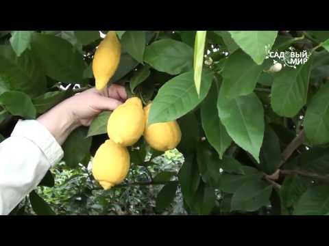 Комнатный лимон и другие цитрусовые из знаменитого г  Павлово