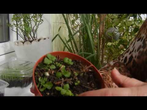 Как можно размножить бакопу весной