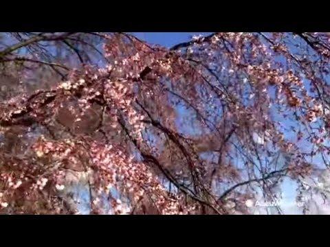 Washington, D.C gets ready for Cherry Blossom Festival