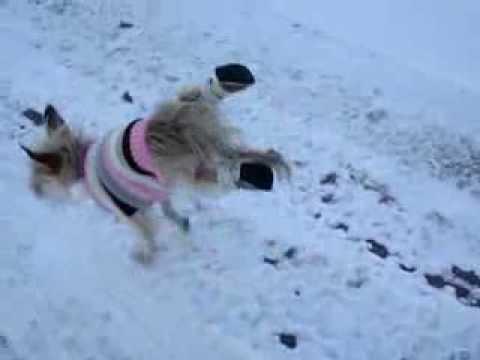 Funny dog doing handstands!