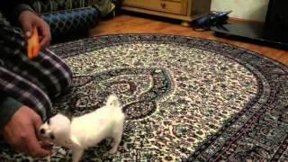 Дрессировка боевого пса убийцы! thumbnail