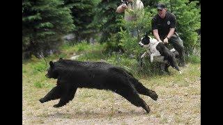 Как выглядят породы собак ( Карельская медвежья собака)