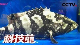 《科技苑》凶猛虎龙斑 深海鱼内陆养 20180621 | CCTV农业