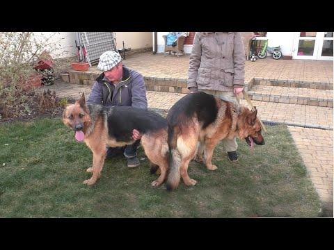 Немецкие овчарки Аманда и Тайсон 14 мая родились щенки German Shepherd Dog. Puppies For Sale.