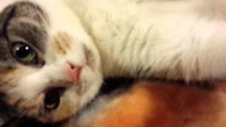 Calico Cat purring