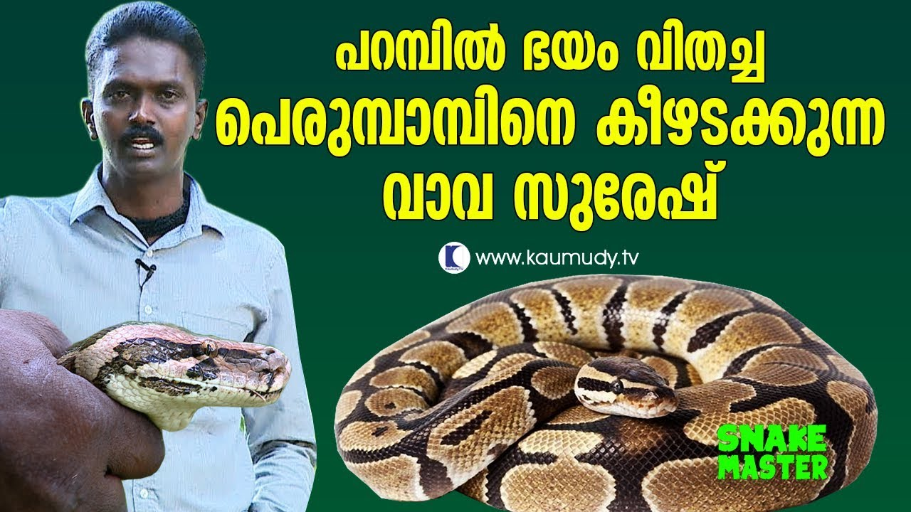 OMG! Vava Suresh is with the Python that sowed the seeds of horror | Vava  Suresh | Snakemaster