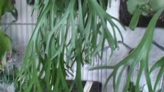 Platycerium willinckii爪哇鹿角蕨