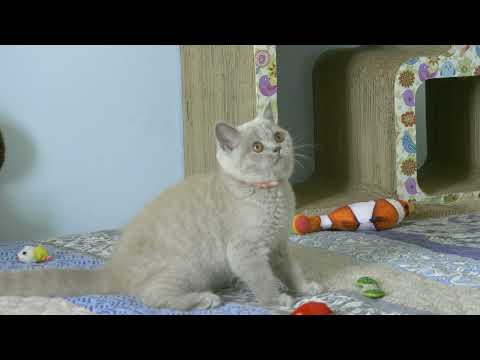 British kitty Rosalia is 3 months old