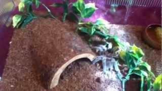 My Evil Rose Hair Tarantula