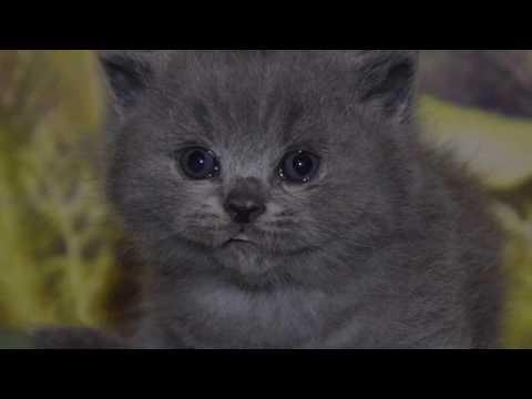 котята британцы 1 месяц фото
