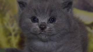 Британский котенок 1 месяц