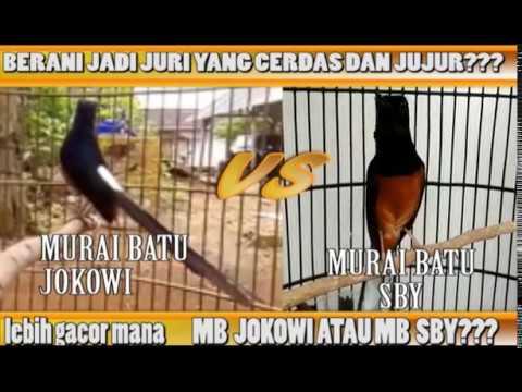 Murai Batu Jokowi Vs Murai Batu Sby Lebih Gacor Mana Nama Burung Hanya Pemanis Saja Youtube