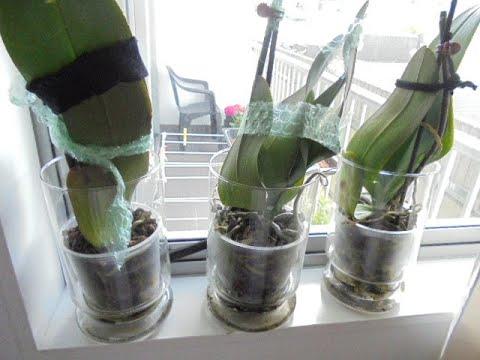 Как спасти орхидеи с высохшими корнями и листьями без тургора.