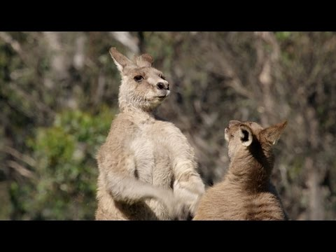 Kangaroo fight club - Life Story: Episode 4 preview - BBC One