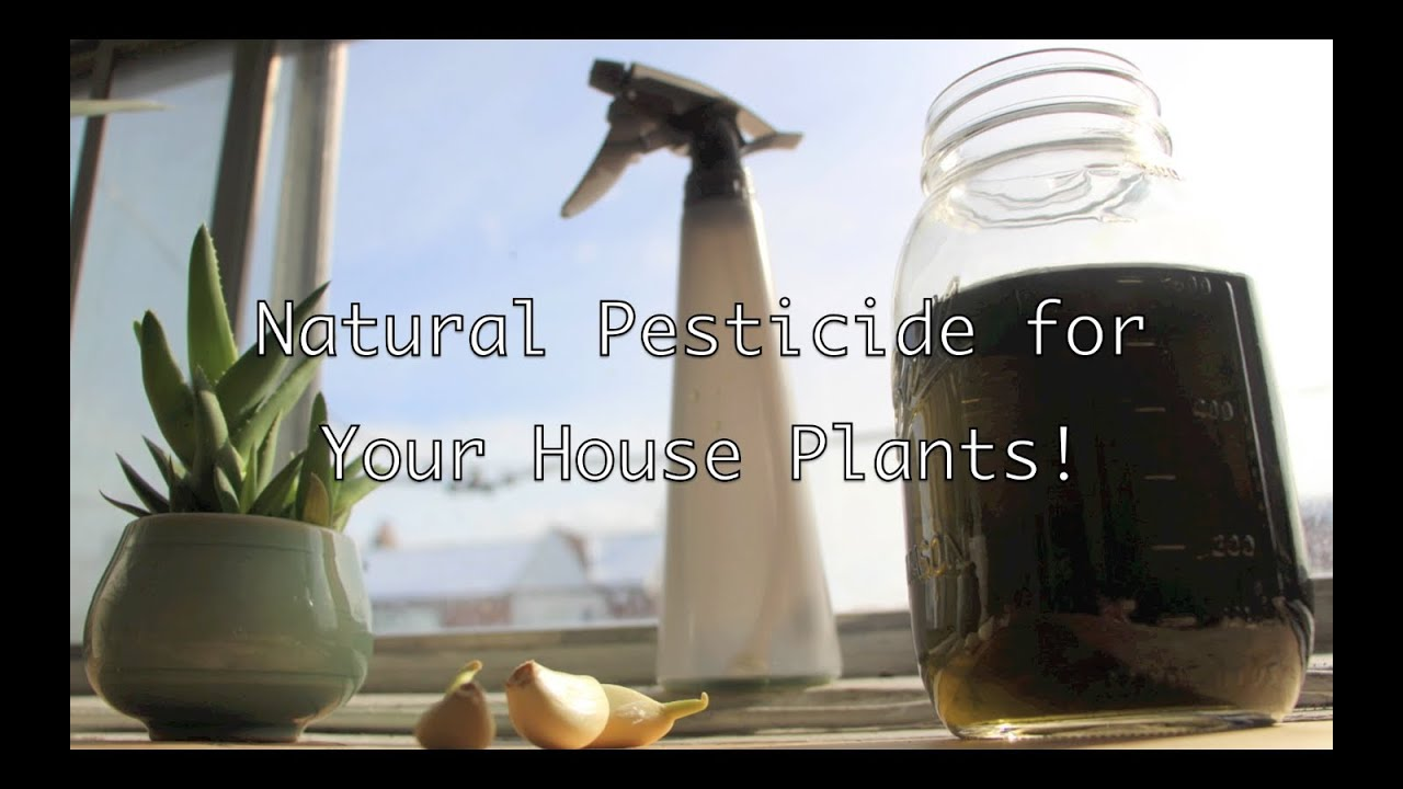 Natural Pesticide For Your House Plants!   YouTube