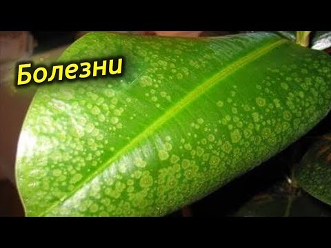 Как вылечить Фикус? Болезни и проблемы выращивания фикуса каучуконосного!