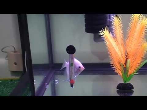 Blushing Angelfish Pair - for sale #48