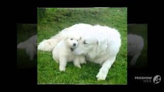 Hungarian Kuvasz Dog Breed