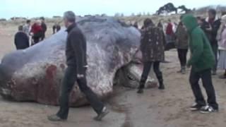 Video Man lies on top of the dead whale on Hunstanton Beach. download MP3, 3GP, MP4, WEBM, AVI, FLV November 2017