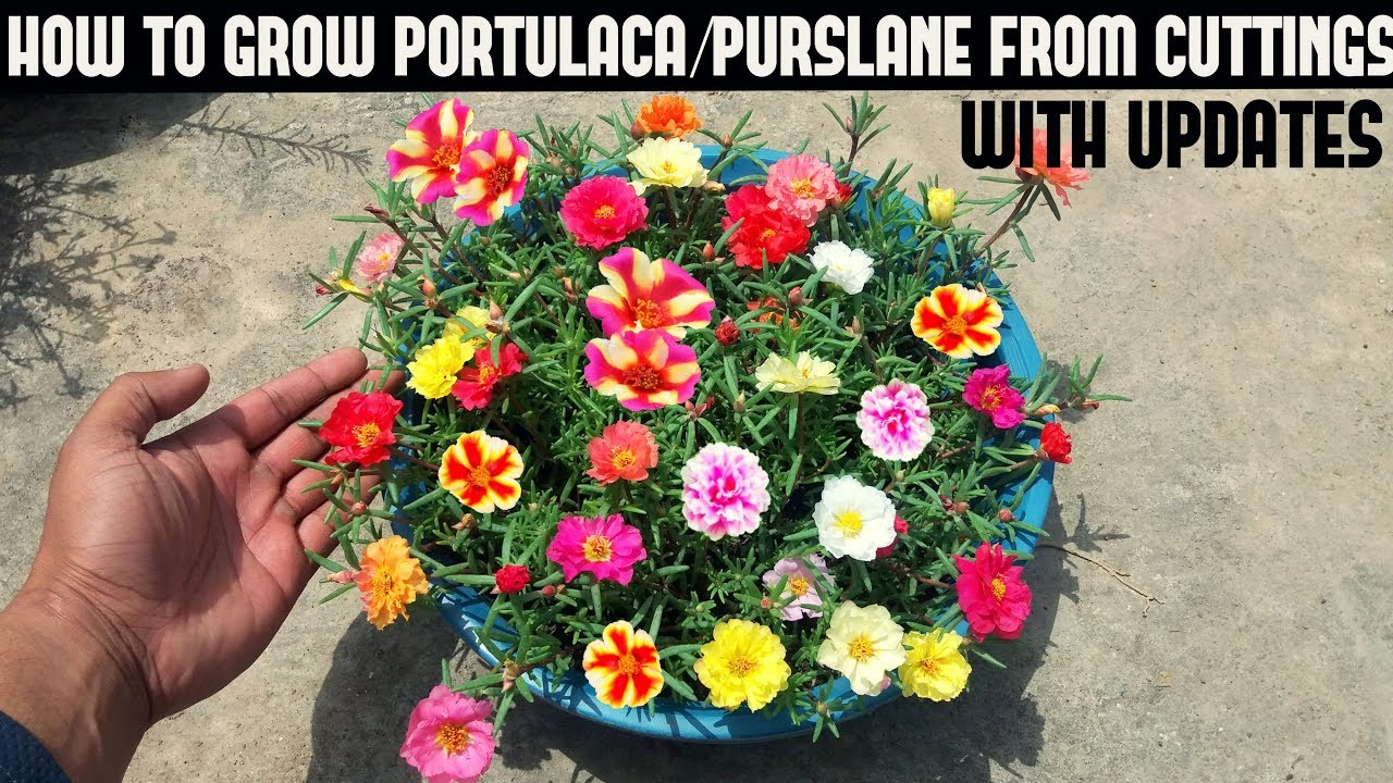 How To Grow Purslane From Seed Things To Know Before You Buy