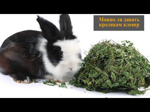 Можно ли давать кроликам клевер