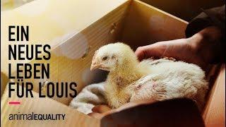 Ein neues Leben für Louis - Hähnchenrettung von Animal Equality