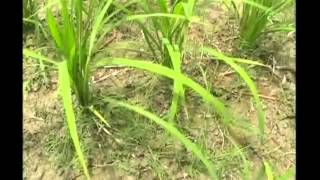 Annadata: Find out how to get better basmati rice yield