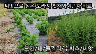 씨앗으로 심은 슈퍼약도라지와 4년차 도라지의 비교 풀관…