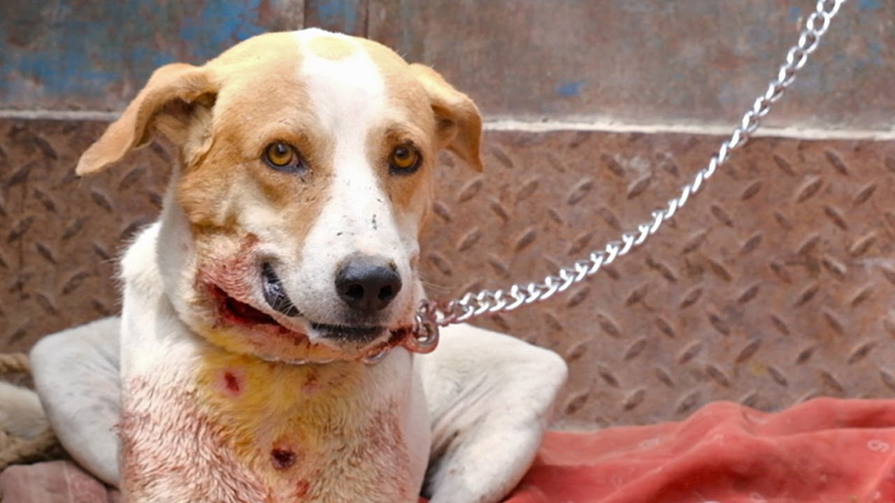 Download Dog's amazing recovery after leopard attack left him horrifically wounded.