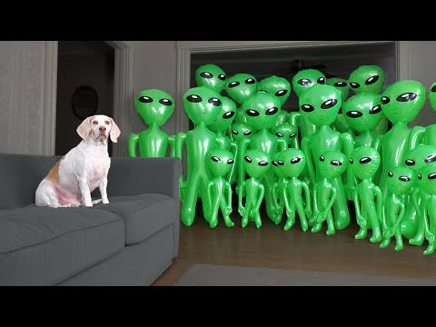 Dog Unmoved by Alien Invasion Prank: Funny Dog Maymo vs Aliens