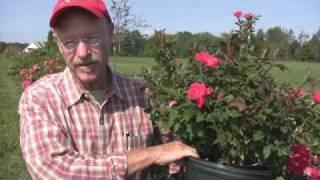 Tips on Planting Roses by Bill Radler, Breeder of