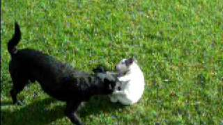 Staffordshire Bull Terrier Vs Patterdale  :)