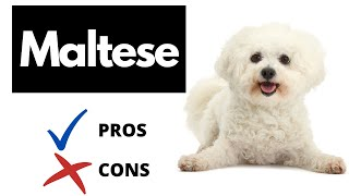Maltese Dog Pros And Cons | The Good AND The Bad!!