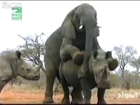kenhvideo.com - Chết cười với clip voi giao hợp với tê giác