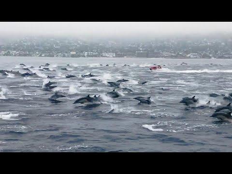 euronews (em português): Grande grupo de golfinhos avistado na Califórnia