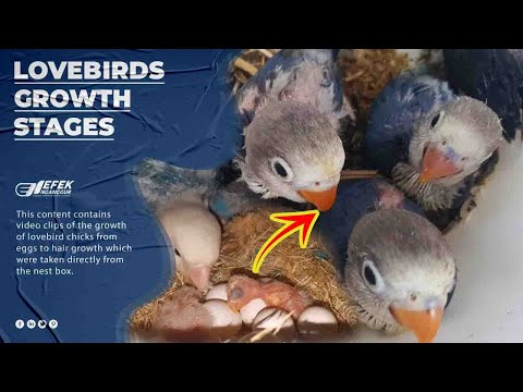 Kehidupan Lovebird Di Glodok 26 Hari & Pertumbuhan Anakan Dari Telur Sampai Berbulu  © Efek Nganggur
