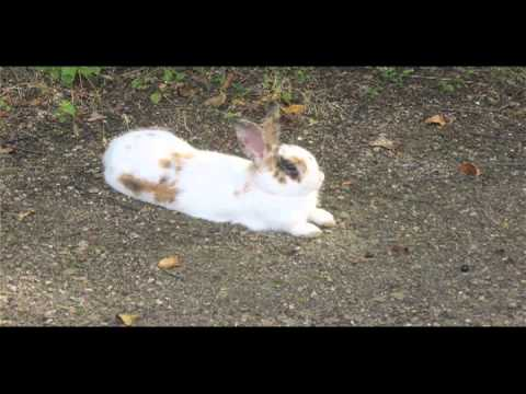 Wild and domesticated bunny rabbits
