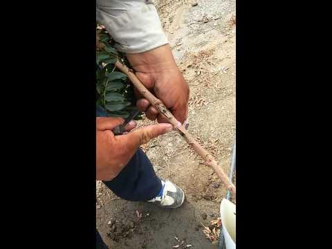 Grafting/injertando pistachio trees