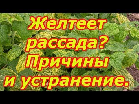 Желтеют листья на рассаде? Сделайте так и такого не будет! | вырастить | помидоры | красивую | рассаду | рассаде | петунии | желтеют | вербена | хлороз | томаты