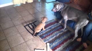 7 Week Old Dogue De Bordeaux Vs Weimareiner