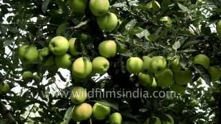 Famous Apple orchards of Kashmir in India