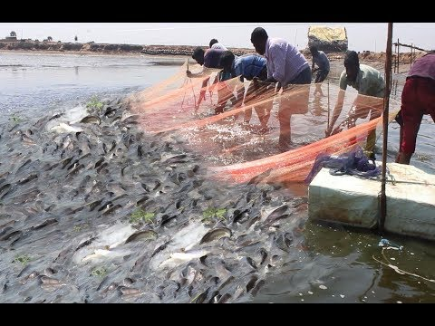 Lot Of Prawns Live Catching Traditional Fishing thumbnail