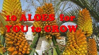 10 Aloes For U to Grow  aloe vera  aloe thraskii aloe ciliaris aloe speciosa