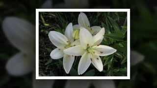Красивые цветы: лилии (видео)(Лилии — очень красивые цветы. Если вы любите красивые цветы, наш ролик должен вам понравиться! Купить цветы..., 2015-05-26T12:34:37.000Z)
