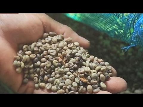Klimato kaita prišaukė bėdą: gali brangti kava