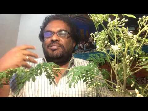 Rayappa Kasi  Drumstick Seeds, Moringa oleifera